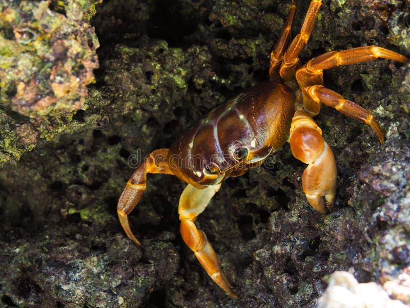 Caranguejo que esconde entre rochas em Tailândia imagem de stock