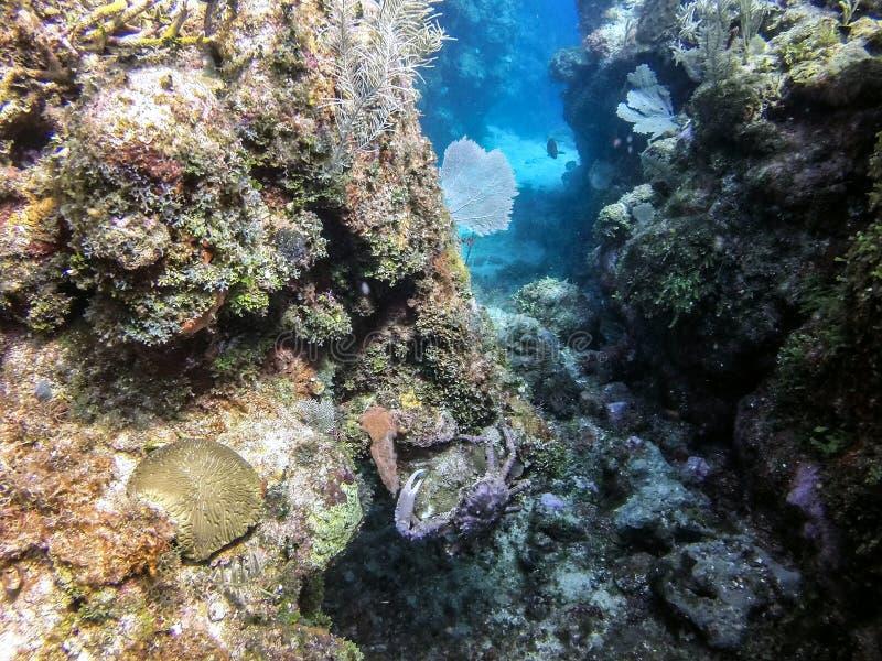 Caranguejo roxo do recife imagens de stock