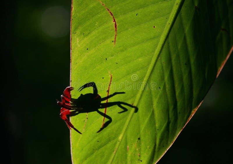Caranguejo vermelho fotografia de stock
