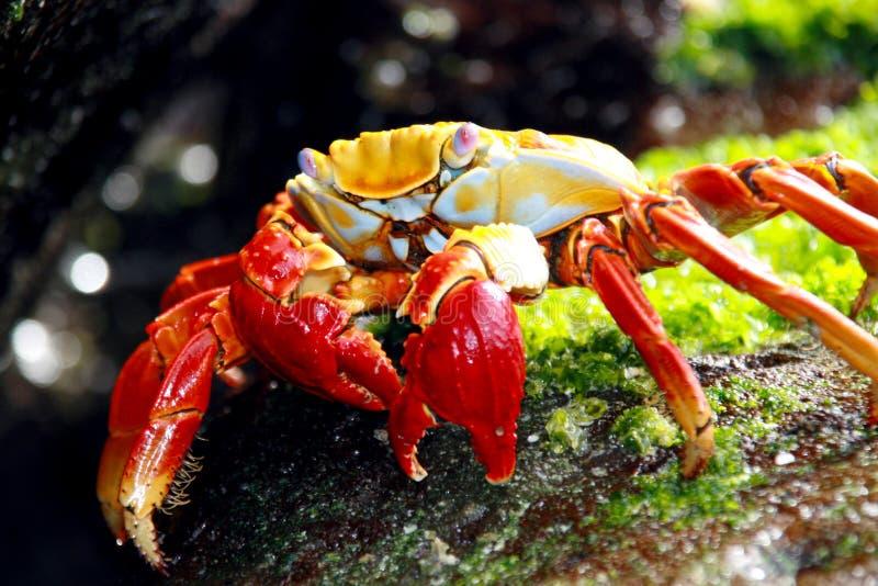 Caranguejo vermelho de Galápagos no movimento fotos de stock