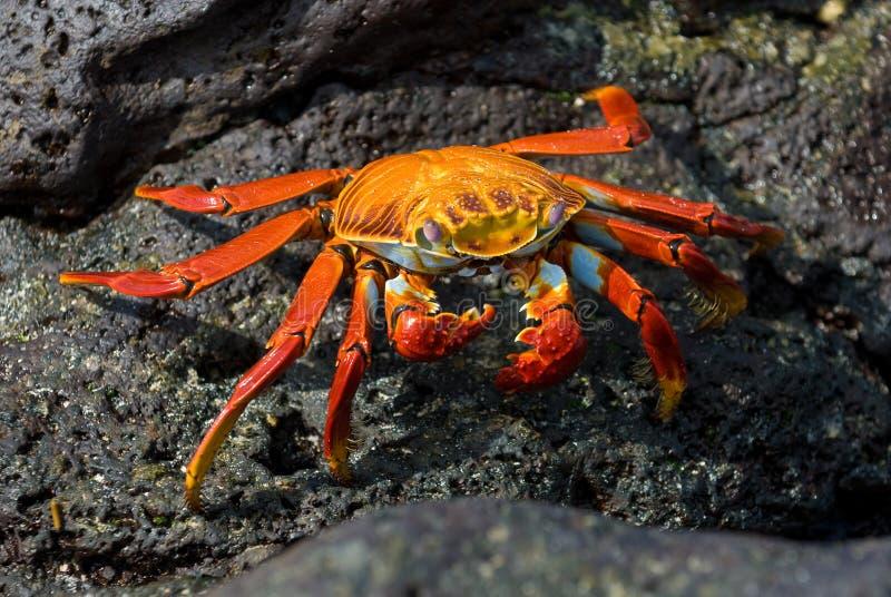Caranguejo vermelho na rocha, consoles de Galápagos foto de stock