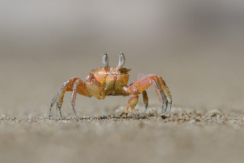 Caranguejo vermelho pequeno que anda na praia foto de stock royalty free