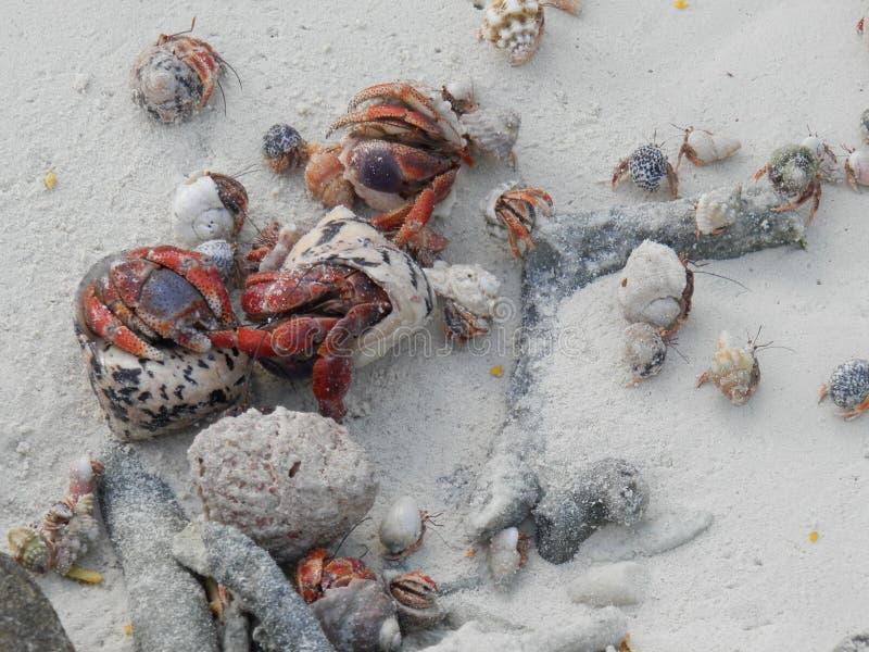 Caranguejos de eremita imagens de stock