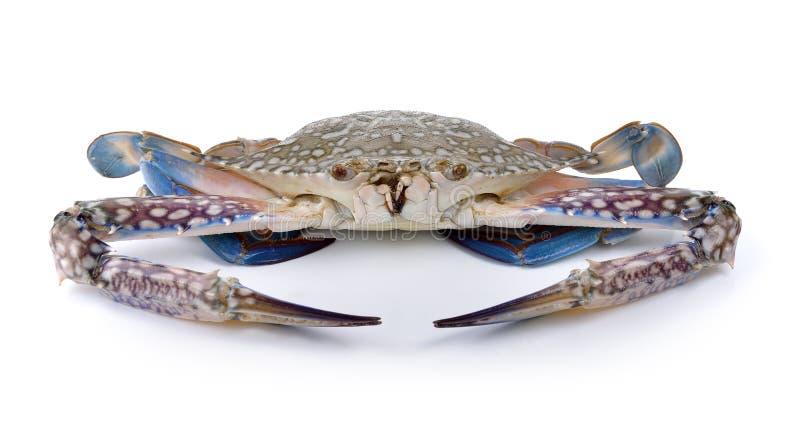 Caranguejos de natação azuis no fundo branco foto de stock royalty free