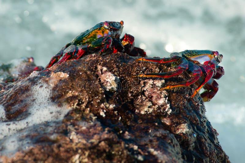 Caranguejos de rocha vermelhos, no La Bombilla, La Palma imagens de stock royalty free