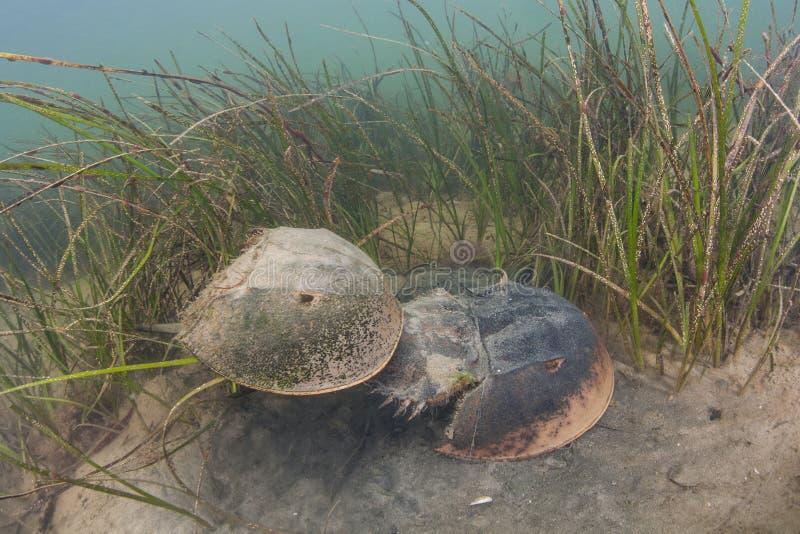 Caranguejos em ferradura atlânticos que acoplam-se em Cape Cod foto de stock royalty free