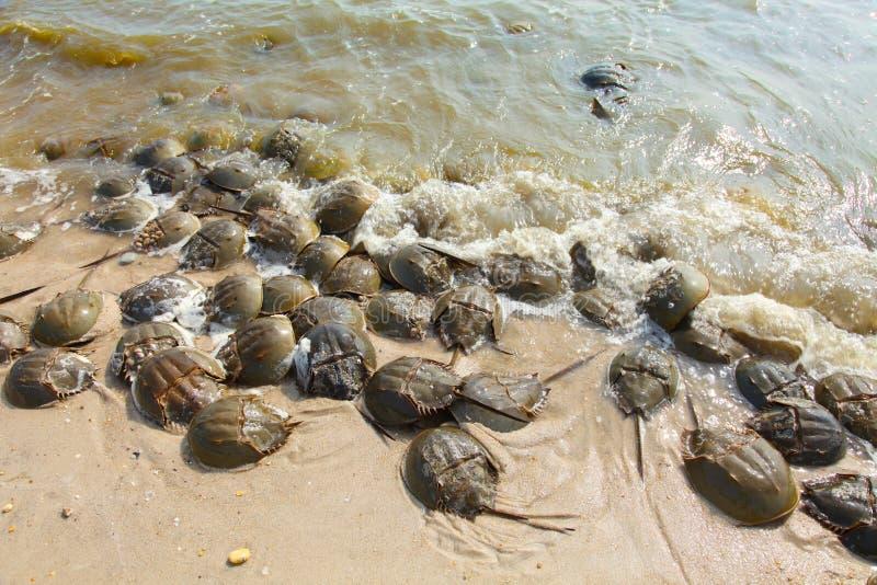 Caranguejos em ferradura na água na linha costeira fotografia de stock royalty free