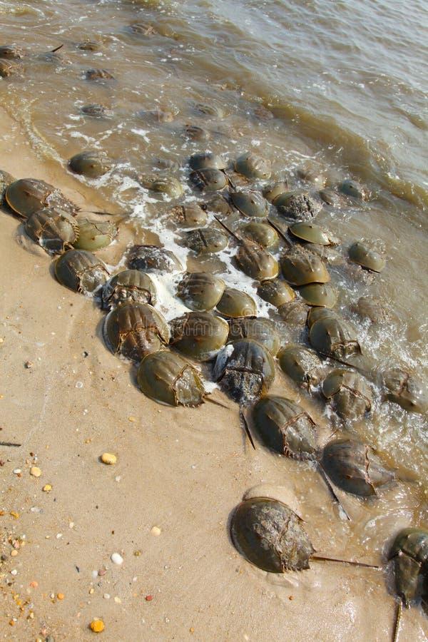 Caranguejos em ferradura na ?gua na linha costeira imagem de stock royalty free