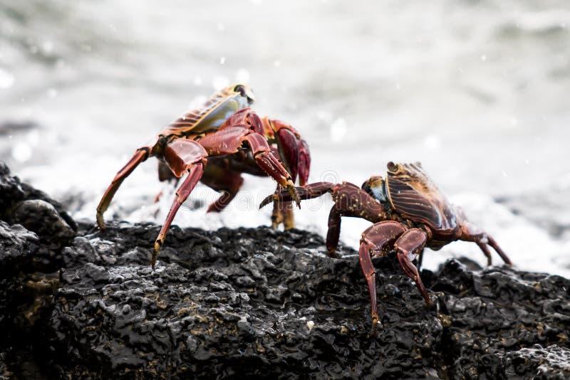 Caranguejos em uma rocha imagens de stock