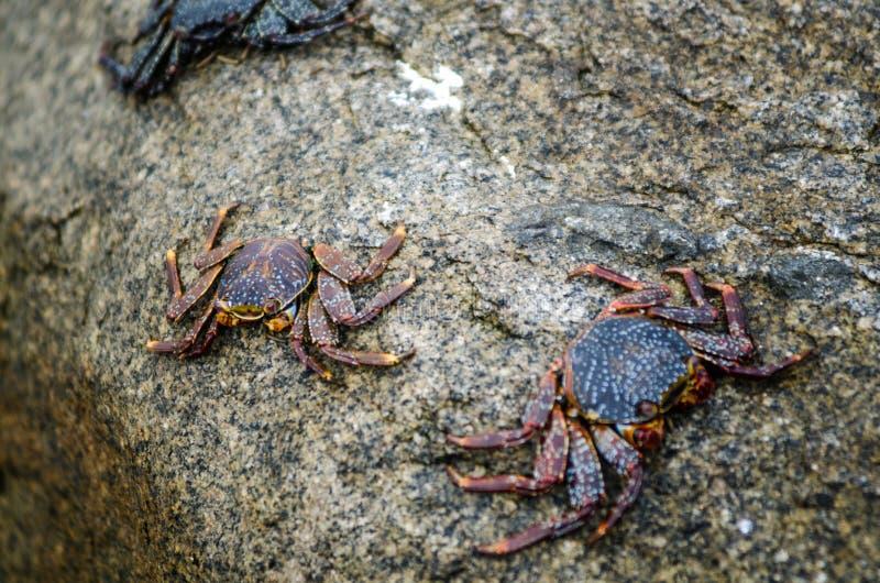 Caranguejos na pedra de uma praia foto de stock royalty free