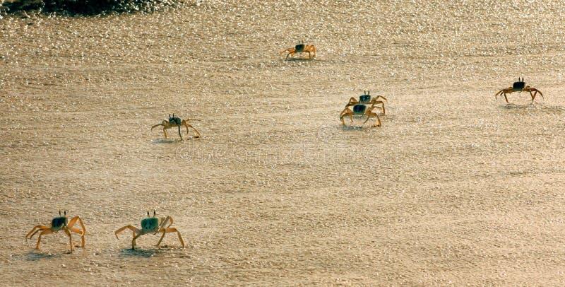Caranguejos na praia imagem de stock