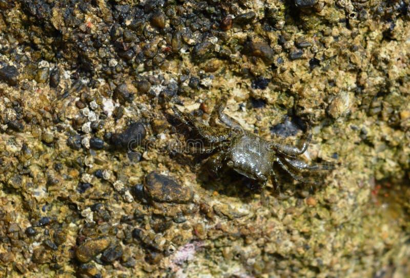 Caranguejos na rocha imagens de stock