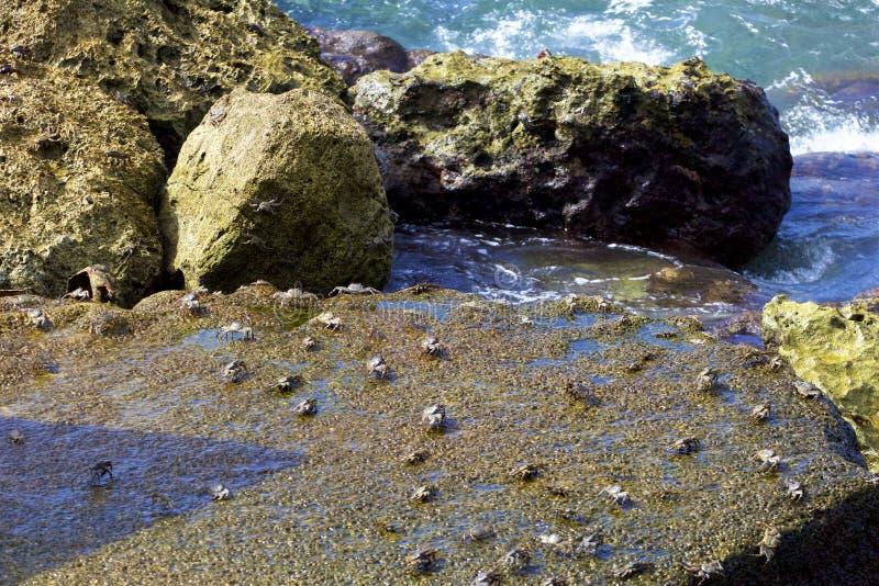 Caranguejos nas rochas foto de stock