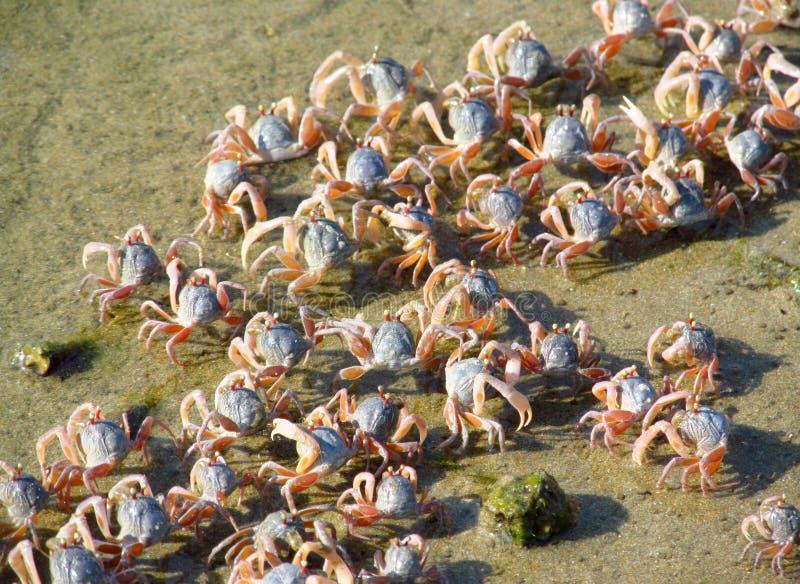 Caranguejos pequenos na praia da areia do oceano imagem de stock royalty free