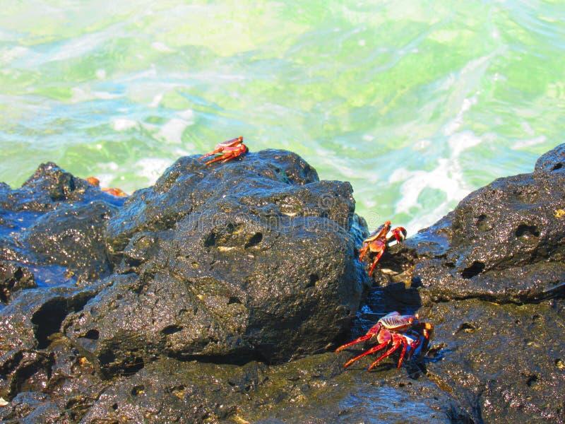 Caranguejos selvagens imagens de stock
