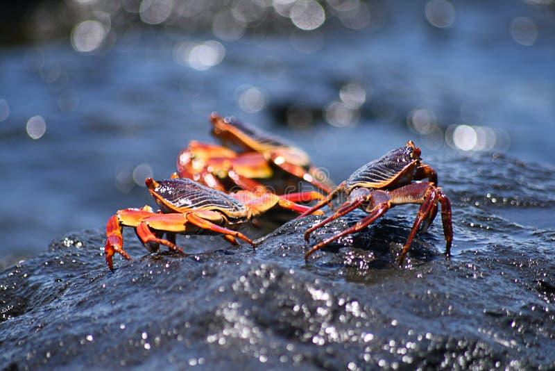 Caranguejos vermelhos e pretos em rochas molhadas imagens de stock royalty free