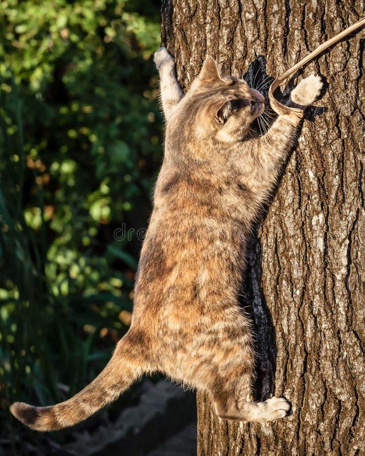 Carapace Tabby Cat Climbing un tronco di albero immagini stock