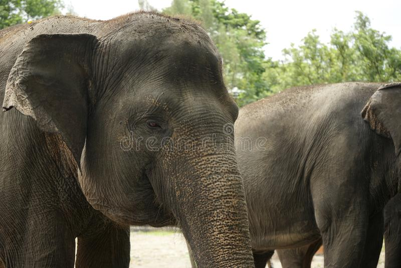 Caras do elefante asiático fotografia de stock royalty free