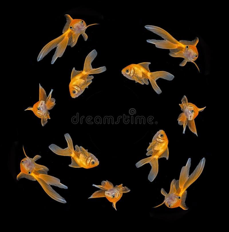 Carassius auratus auratus - gold fish - aquarium fish stock photo