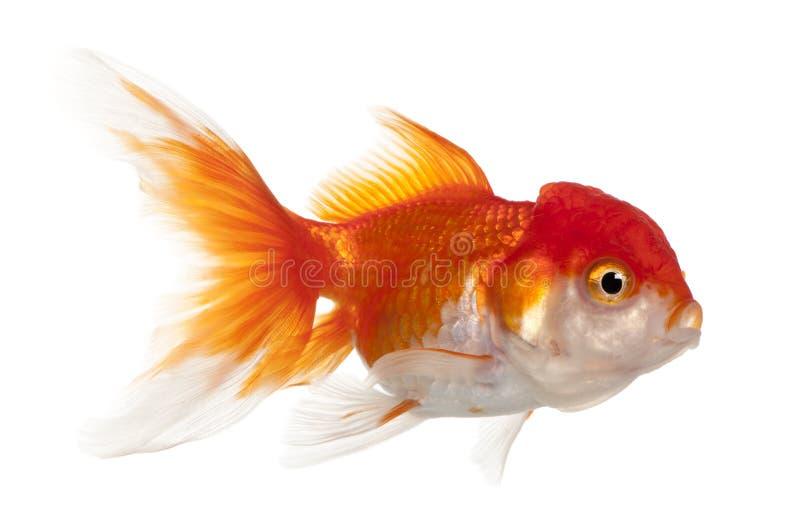carassius auratus goldfish lionhead στοκ φωτογραφίες