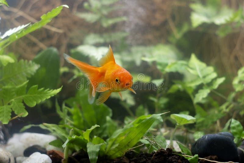 Carassius auratus goldfish za ro?lin? wodn? obraz royalty free