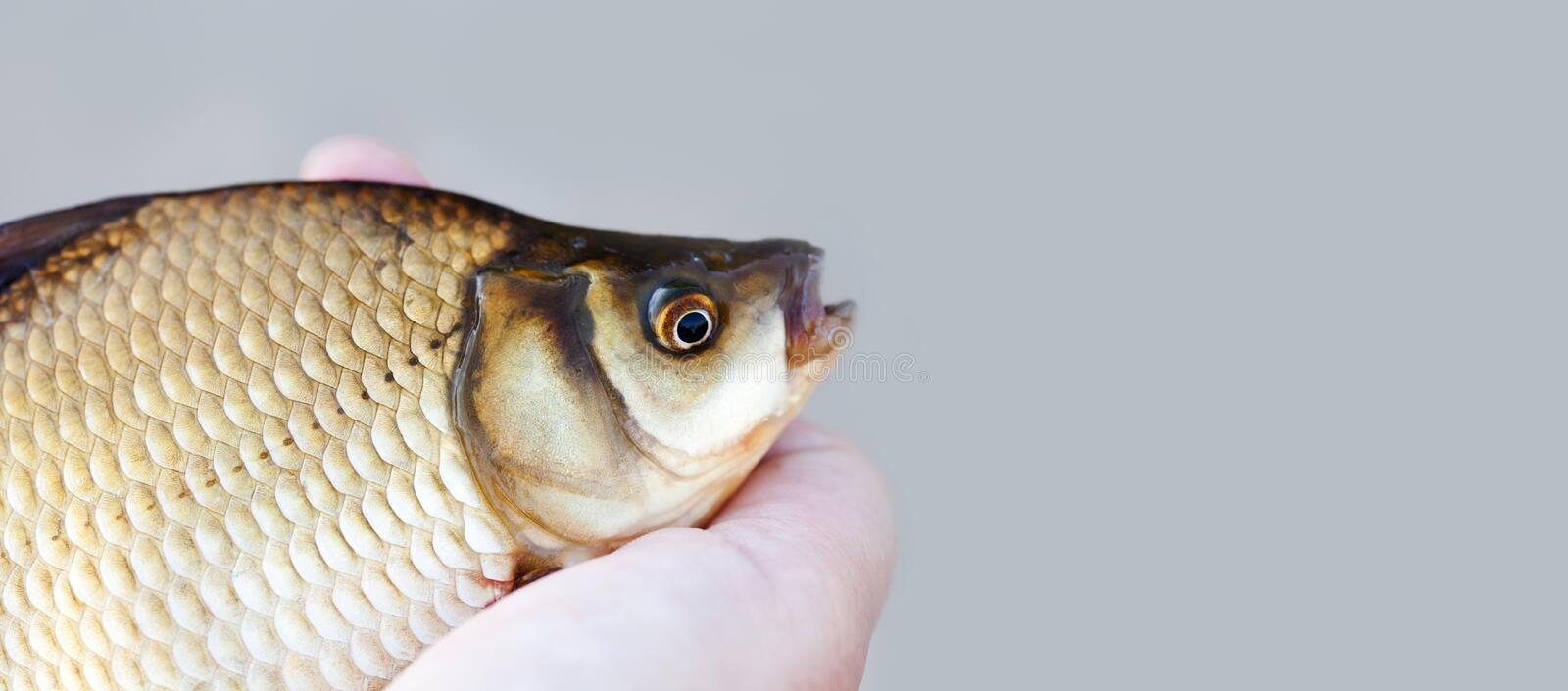 Carassius fish head, scales skin taexture photo. Macro view Crucian carp scaly pattern. Selective focus, shallow depth royalty free stock images