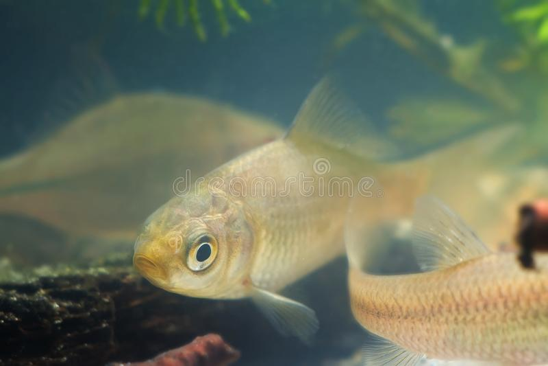 Carassius gibelio, prussian carp or gibel carp, juvenile freshwater fish in European biotope aquarium, underwater royalty free stock photography
