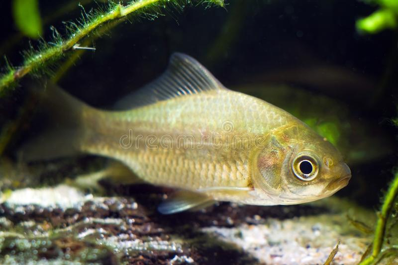 Carassius gibelio, prussian carp or gibel carp, wide-spread and very common wild freshwater fish, biotope aquarium. Carassius gibelio, prussian carp or gibel stock photo