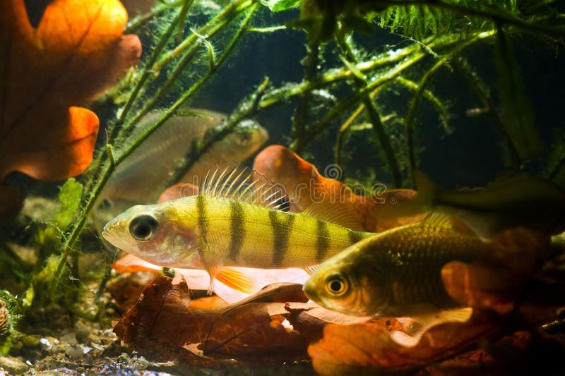 Carassius gibelio, prussian carp or gibel carp and European perch, wide-spread wild small freshwater fish in spotlight. Freshwater coldwater biotope aquarium royalty free stock photos