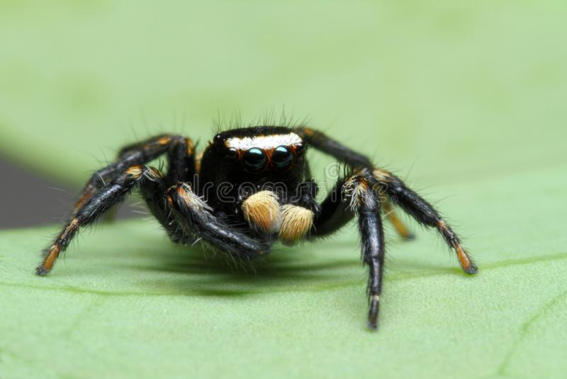 Caratteristica di salto dei ragni fotografia stock libera da diritti