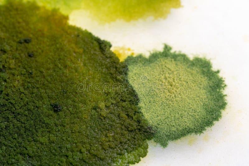 Caratteristiche della colonia del fungo e delle alghe nella capsula di Petri per istruzione fotografia stock libera da diritti