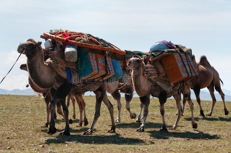 Caravan of camels in Mongolia royalty free stock photography