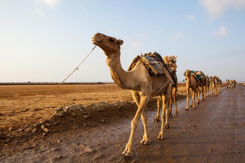 Caravan of camels stock image