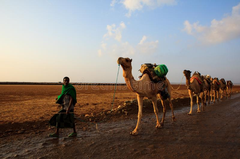 Caravan of camels. Walking across Danakil Depression at sunrise to get the salt and bring it back to the towns for sale. Ethiopia, January, 2018 royalty free stock photography