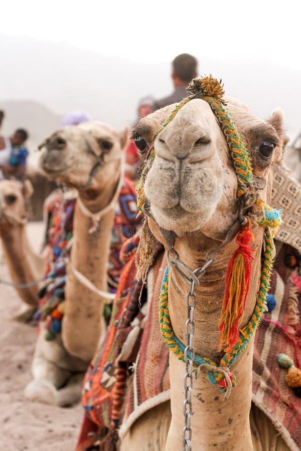 Caravan dei cammelli che si siedono sulla sabbia immagine stock libera da diritti