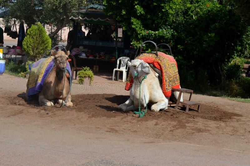 caravan dei cammelli Il caravan del cammello riposa prima dell'invio su un viaggio lungo immagini stock