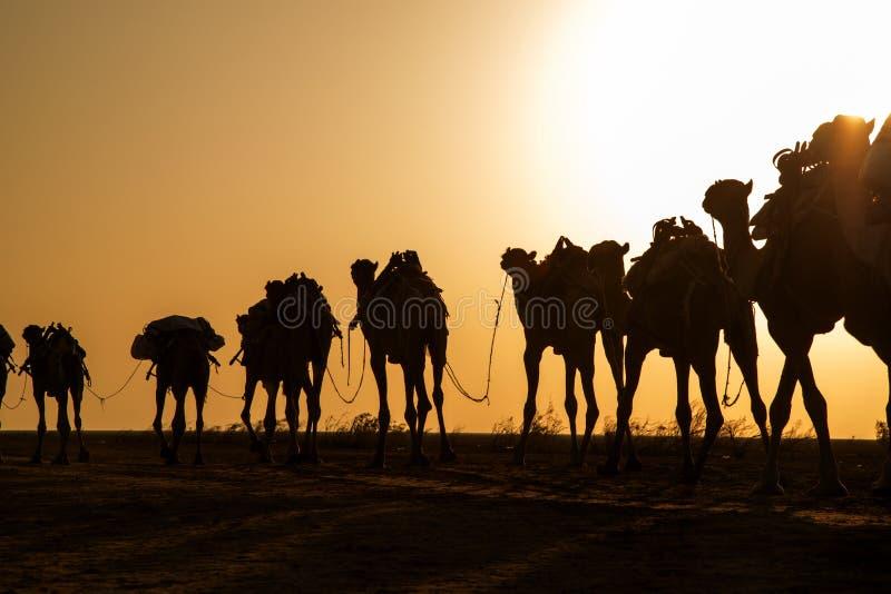 Caravan del cammello che trasportano i blocchetti del sale dal lago Assale fotografie stock