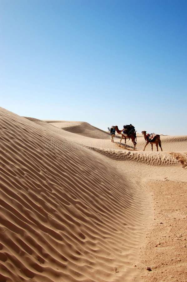 Caravan in desert Sahara. Caravan two camel in desert Sahara royalty free stock images