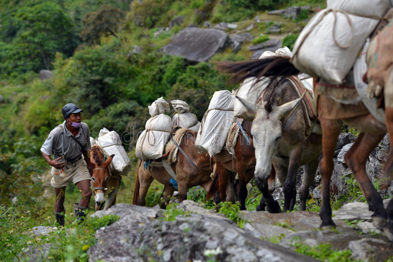 Caravan of donkeys carrying supplies in the Himalayas stock image