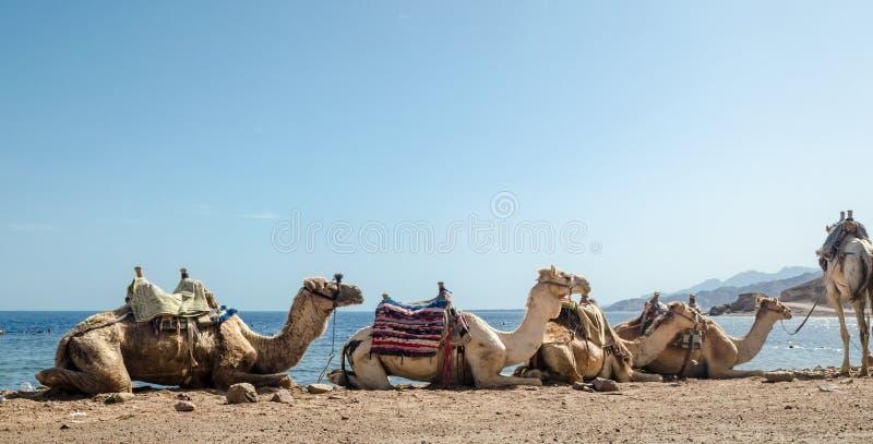 Caravan het liggen kamelen in woestijn van het Gaten van Zuid- Egypte Dahab Blauwe Sinai stock afbeelding