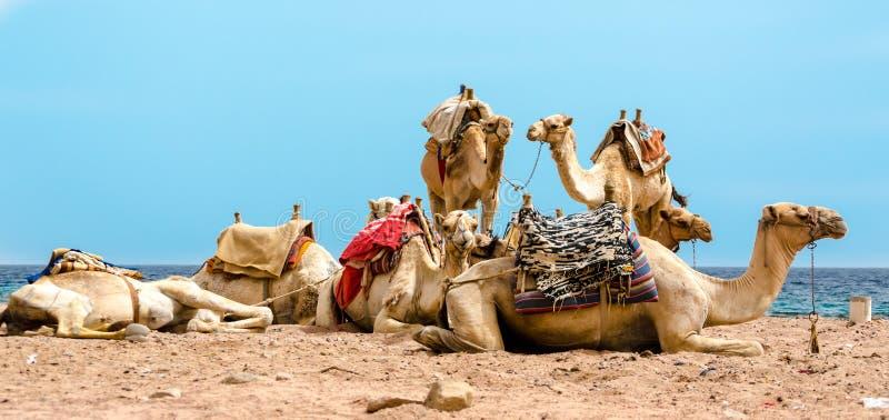 Caravan het liggen kamelen in woestijn van van Zuid- Egypte Dahab Sinai stock foto's