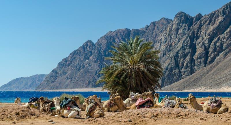 Caravan het liggen kamelen in woestijn van van Zuid- Egypte Dahab Sinai royalty-vrije stock foto