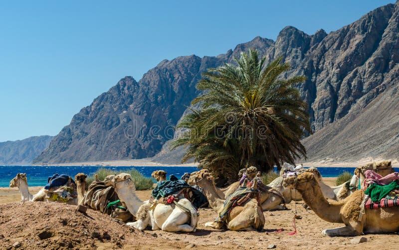 Caravan het liggen kamelen in woestijn van van Zuid- Egypte Dahab Sinai royalty-vrije stock afbeelding