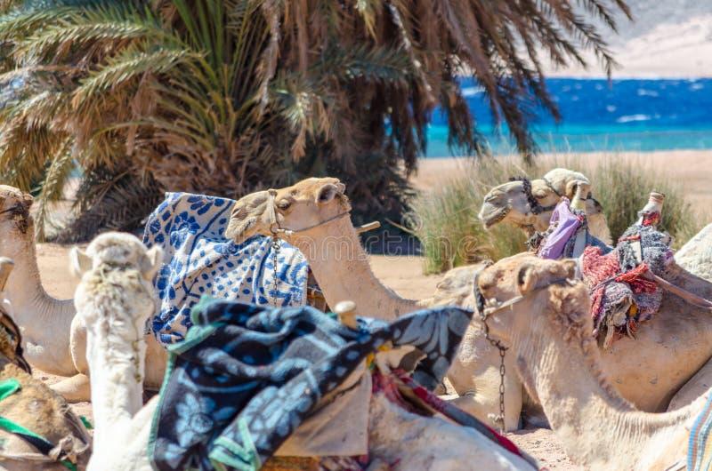 Caravan het liggen kamelen in woestijn van van Zuid- Egypte Dahab Sinai stock afbeeldingen