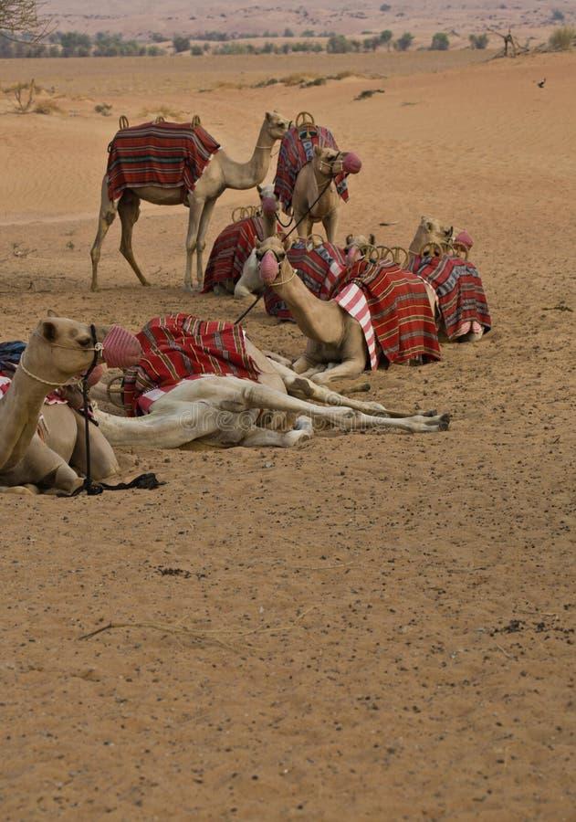Caravan van kamelen royalty-vrije stock afbeeldingen