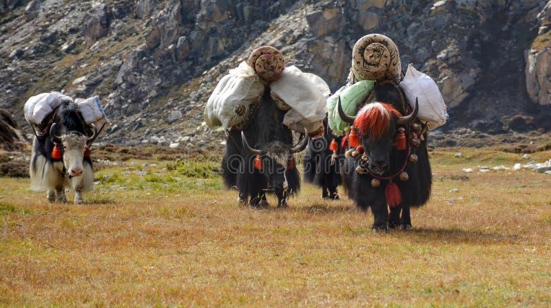 Caravan van yaks op de manier aan Lhonak-dorp Kangchenjungagebied, Nepal stock foto