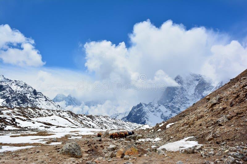 Caravan of yaks on the way to Gorak Shep, Nepal. Beautiful Himalayan mountains on the background. stock photo