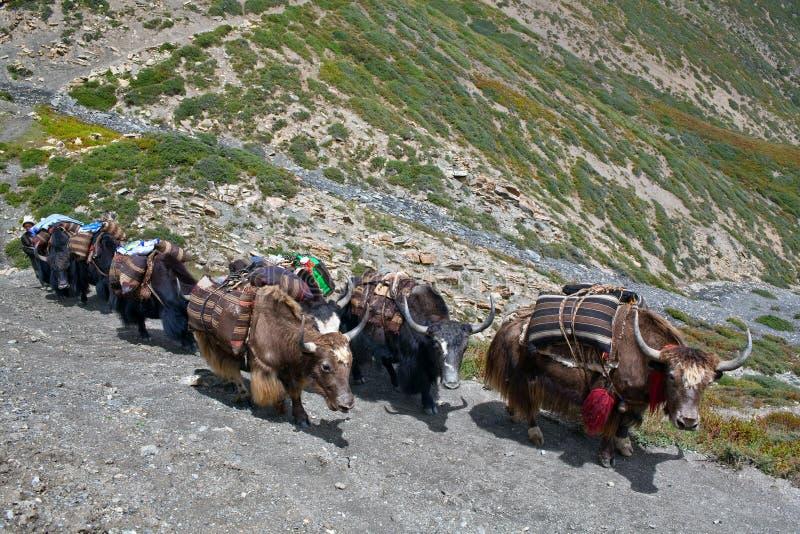 Caravan of yaksl. Caravan of yaks in the Nepal Himalaya royalty free stock images