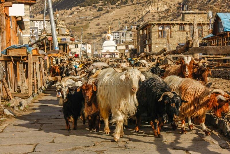Caravana de las cabras que van a lo largo de la calle del pueblo en Nepal fotografía de archivo