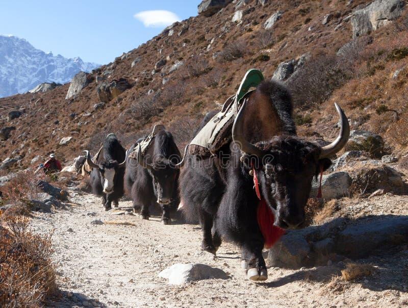 Caravana de los yacs que van al campo bajo de Everest imagen de archivo